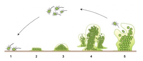 shows the development of a biofilm in 5 stages