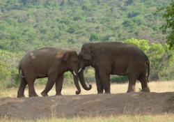 two elephants lean against each other head-to-head